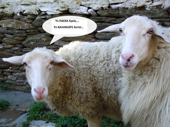 sheepcq2